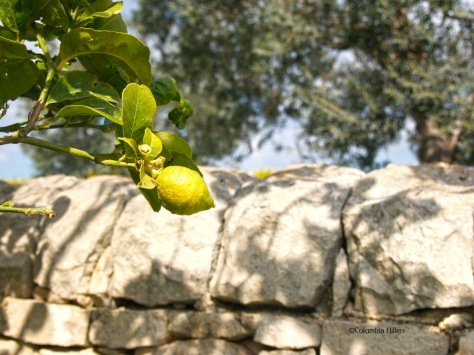 landscape photography, lemon in a lemon tree