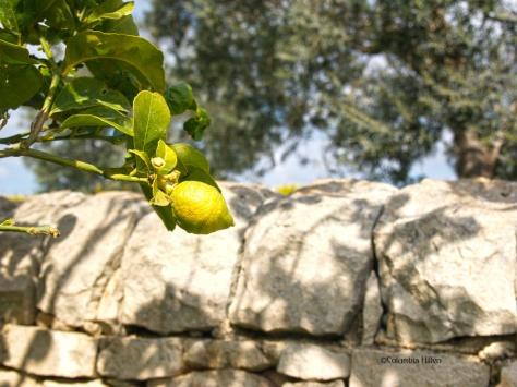 landscape photography, lemon in a lemon tree