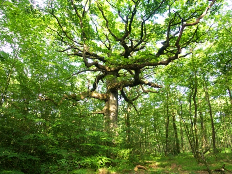 large oak tree, forest in summer, landscape photography